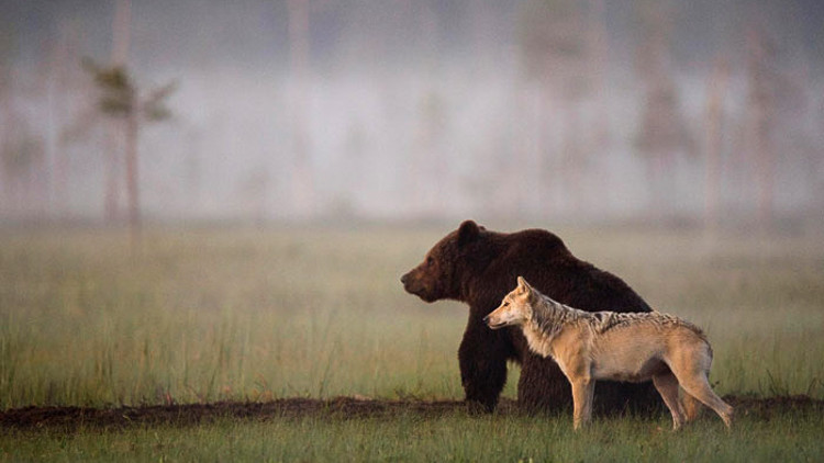Unique friendship between wolf and bear documented by Finnish photographer